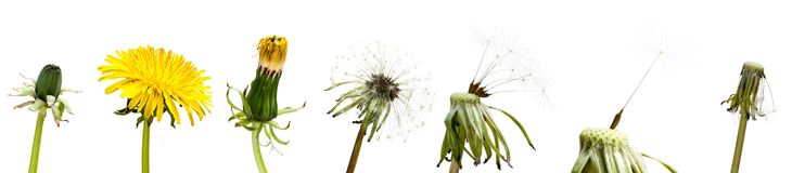 Common dandelion. Set of dandelion flower isolated on white stock images
