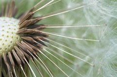 Common dandelion - Taraxacum Stock Image