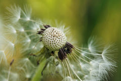 Common Dandelion (Taraxacum officinale). Close-up Common Dandelion with green background Royalty Free Stock Photography