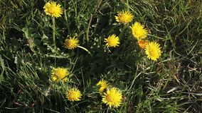 Common Dandelion, taraxacum officinale, Flowering, opening in Meadow. Time Laps stock video