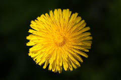 Common dandelion (Taraxacum officinale) Stock Image