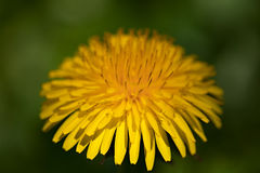 Common dandelion (Taraxacum officinale) Stock Photo