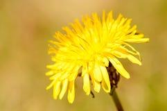 Common dandelion (Taraxacum officinale). Stock Images