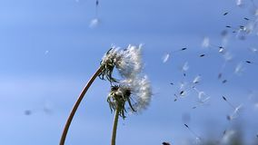 Common Dandelion, taraxacum officinale, seeds from `clocks` being blown and dispersed by wind against blue Sky. Slow motion stock footage