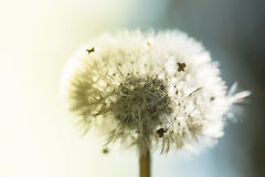 Common dandelion - Taraxacum Royalty Free Stock Image