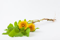 Common dandelion Taraxacum officinale. On white background royalty free stock photography