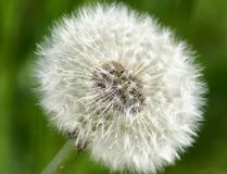 Common dandelion (Taraxum officinalis) Stock Photography