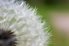 Common dandelion in the wind royalty free stock photos