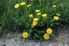 Common Dandelions  56594 Stock Photography