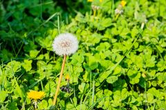 A common dandlion clock against clover leaves in the evening sun stock photography