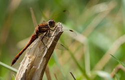 Common darter. Royalty Free Stock Photography