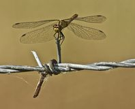 Common Darter Stock Photos