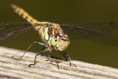 Common Darter Stock Images