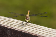 Common Darter Stock Photography