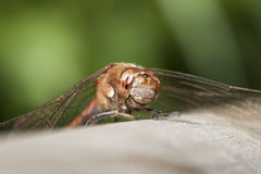 Common Darter Royalty Free Stock Photo