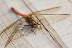 Common Darter Royalty Free Stock Image