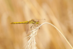Common Darter Dragon Fly Stock Photo