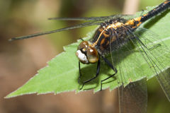 Common Darter Dragonfly Royalty Free Stock Photography