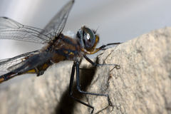Common Darter Dragonfly Stock Photography