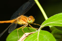 Common Darter Dragonfly Royalty Free Stock Image