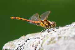 Common Darter Dragonfly Stock Photos