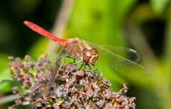 Common Darter dragonfly Stock Image