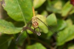 Common Darter Dragonfly Stock Photo