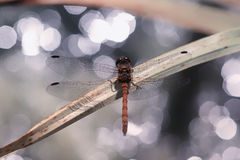 Common Darter dragonfly against sparkling water. Male Common Darter (Sympetrum striolatum) dragonfly from the family Libellulidae. The beauty of the insect is Stock Image