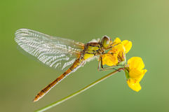 Common Darter Dragonfly. Stock Image