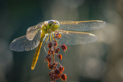 Common Darter dragonfly front view Royalty Free Stock Image