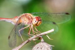 Common Darter Dragonfly in High Dynamic Range Stock Photos