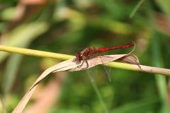 Common Darter Dragonfly. Male Common Darter Dragonfly. Sympetrum striolatum stock photos