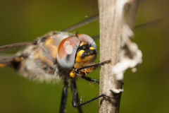 Common darter dragonfly perched on a stick. Royalty Free Stock Images