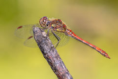 Common darter dragonfly perched on stick Royalty Free Stock Image