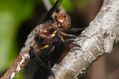 Common Darter dragonfly Stock Photos