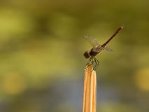 Common darter dragonfly Royalty Free Stock Photos