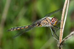 Common Darter Dragonfly standing on a Branch Stock Image