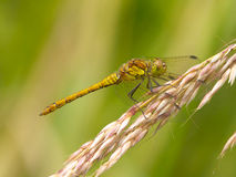 Common Darter dragonfly. Stock Photo