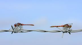 Common Darter Dragonfly (Sympetrum striolatum). Close up shot of two Common Darter Dragonflies sitting on a barbed wire fence stock images