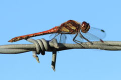 Common Darter Dragonfly (Sympetrum striolatum). Close up shot of a Common Darter Dragonfly sitting on a barbed wire fence royalty free stock photo
