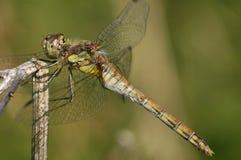 Common Darter Dragonfly. Sympetrum striolatum Female perched stock photos