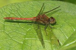 A Common Darter Dragonfly Sympetrum striolatum perched on a leaf. Royalty Free Stock Images