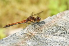 A Common Darter Dragonfly Sympetrum striolatum perched on a rock. Stock Image