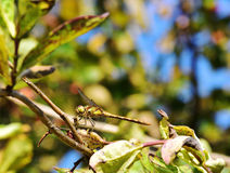 Common Darter Dragonfly Royalty Free Stock Photo