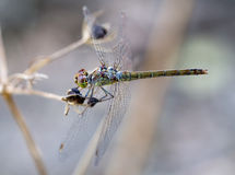 Common darter female on Crete Royalty Free Stock Image