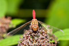 Common darter front Royalty Free Stock Images