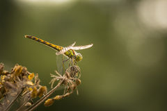 Common Darter in the golden hour Stock Images