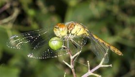 Common Darter with green elderberry Stock Photo