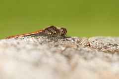 Common Darter - macro shot Stock Photo