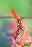 Common Darter, male Royalty Free Stock Photo